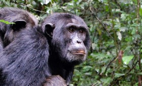 While Bwindi Impenetrable forest may be the home of Uganda's famous mountain gorillas, Kibale Forest is the place to go if you are interested in […]