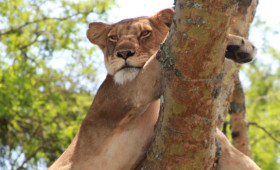 I've been to Queen Elizabeth National Park twice – once when game drives were still new and exiting and the second time after having decided […]