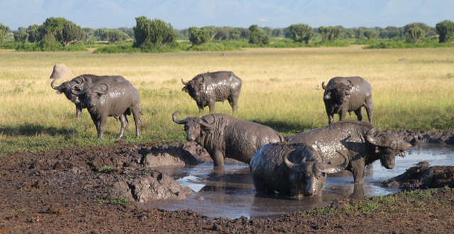 Muddy Buffalo in Uganda