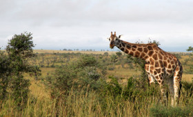 Safaris in Uganda are big business, and for good reason. We have a wealth of natural beauty and wildlife. We also have a vast number […]