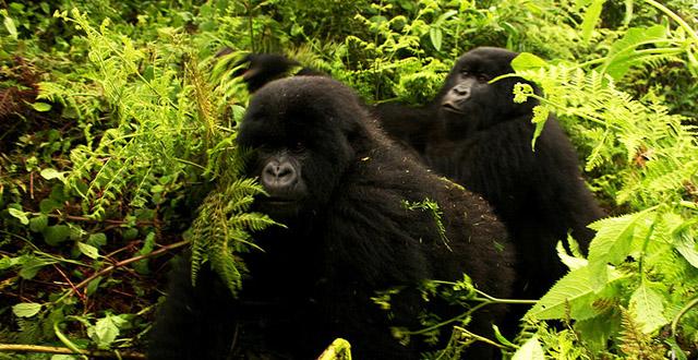 Gorilla Trekking, Uganda